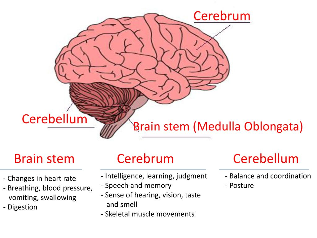 Name The Three Main Parts Of Human Brain Toppr