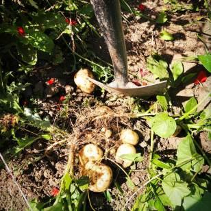 Organic allotments Somerset