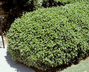 Holly - Dwarf Chinese