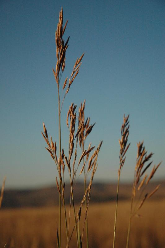 Mountain Bromegrass
