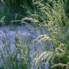 elena perennial ryegrass