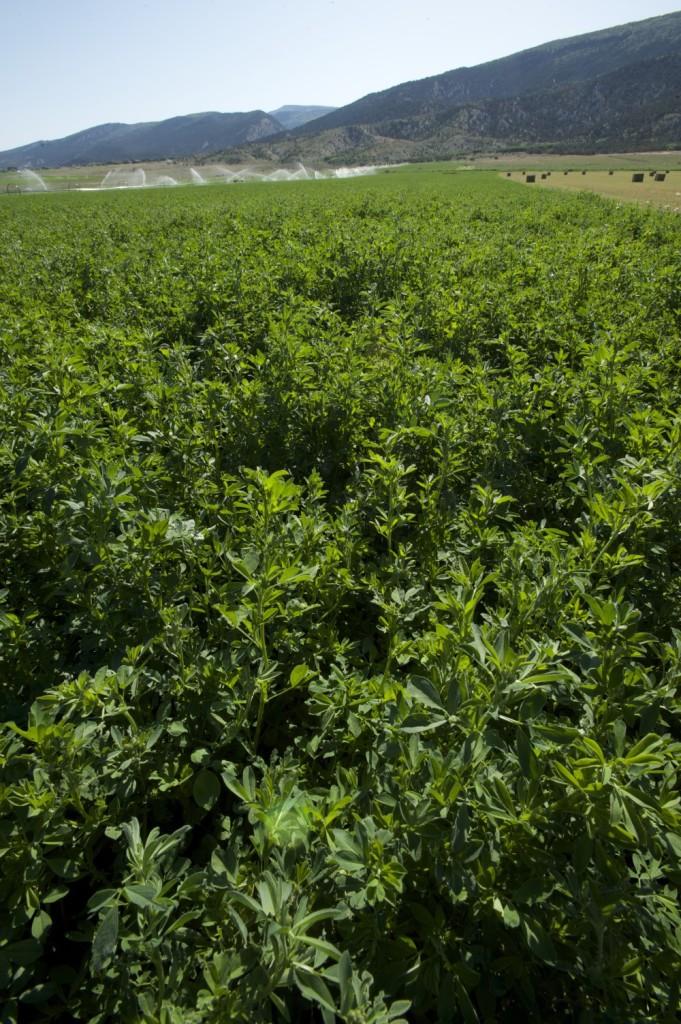 multileaf alfalfa