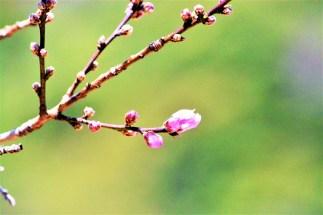 桃の花の蕾