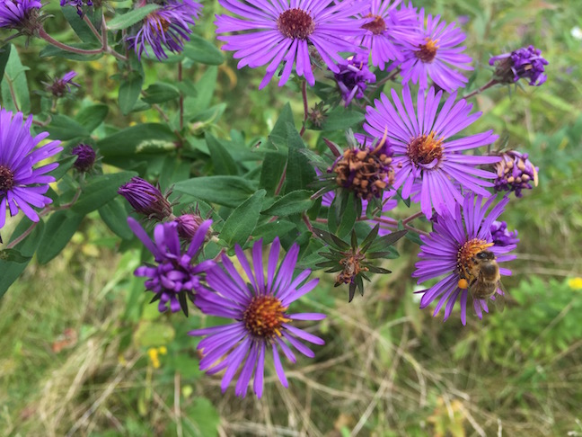 In filtered afternoon sun, vibrant purple flowers with deep orange centers grow on stems surrounded by lance-like green leaves. A small bumblebee forages for pollen and nectar in the center of a flower. The flowers grow tall, above drying grass of early autumn.