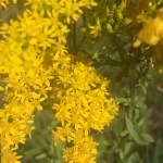 about one half of the image is full of small yellow floral rays, clusters of small florets. the other half, is the lower lance shaped leaves of the plant