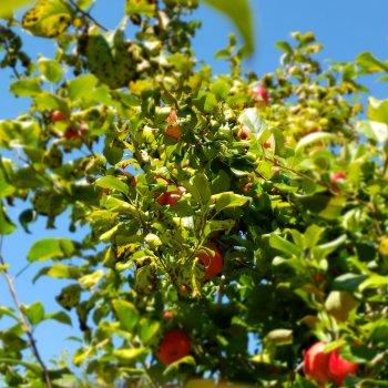 All Seasons Orchard   Apples & Pumpkins – Woodstock, IL