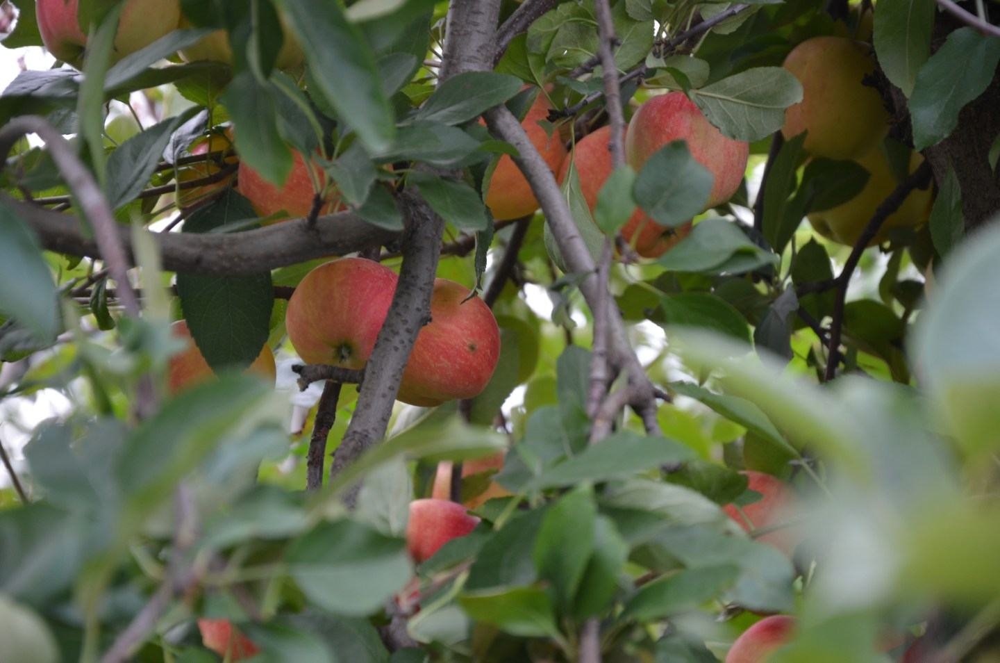 Apple Orchards – Chicago suburbs!