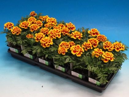 marigold flat