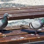 PigeonGuano