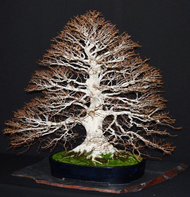 bonsai_6