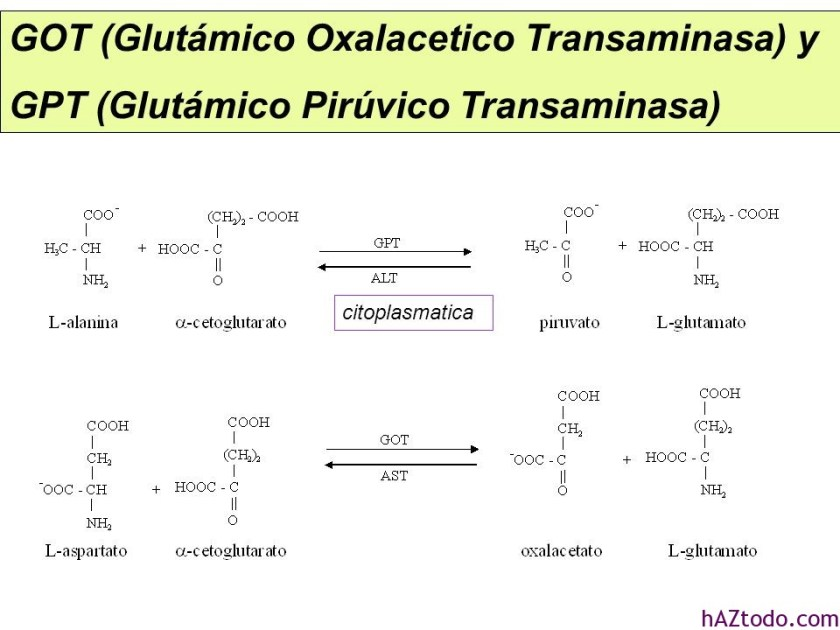Transaminasas GOT y GPT