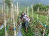 Lasma in tomato garden (North Sumatra, 2012)