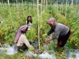 Tomato farmers (North Sumatra, 2012)