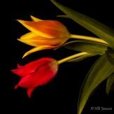 Tulip-7909
