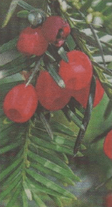 A yew showing its bright red berries, which contain a poisonous seed
