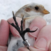 Snow-Bunting-toes
