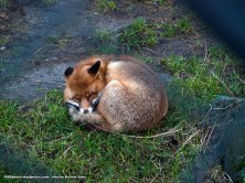 Zorro acurrucado (Vulpes vulpes). A pesar del grueso pelaje que poseen estos cánidos, el frío en Suecia en diciembre les afecta y están adormilados.