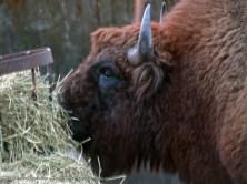 Bisonte europeo (Bison bonasus). Espectaculares por su envergadura, estos animales aguantan perfectamente las climatologías mas extremas.