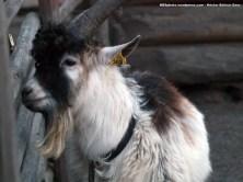 Cabra doméstica (Capra hircus). No pierden la ocasión de recibir caricias y atenciones de parte de los visitantes.