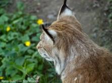 Lince boreal (Lynx lynx), el mayor felino de Europa. Puede vivir en latitudes articas (72ºN), aunque su rango de distribución es tremendamente variable.