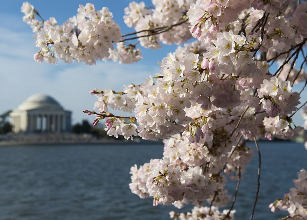 Image result for cherry blossom images