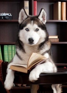 Reading-husky.