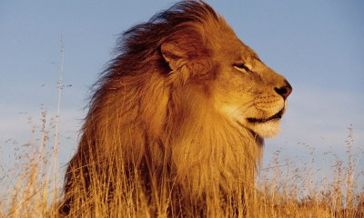 Hd Desktop Wallpaper Lion 1600x1200