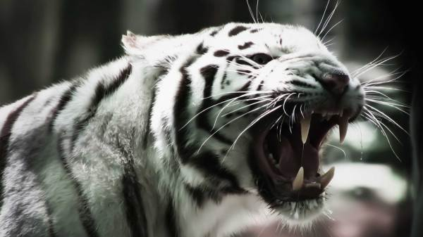 Black And White Tigers Picture