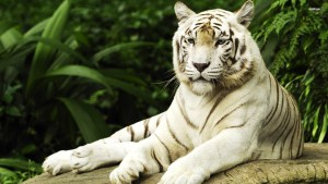 Picture Of The White Tiger