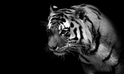 Picture Of Tigers In Black And White
