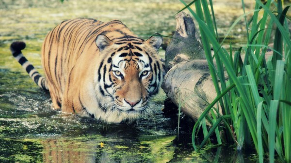 Picture Of Tigers In The Wild