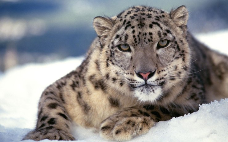 Snow Tigers Picture