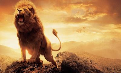 Lion Hd Wallpaper 1086