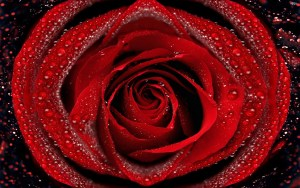 35805816 beautiful rose images