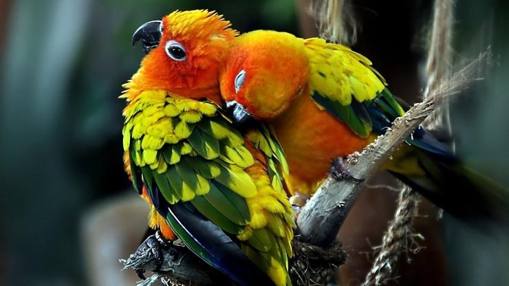 Hd australian parrots pictures download