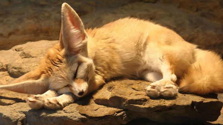 fox wallpaper 511564154