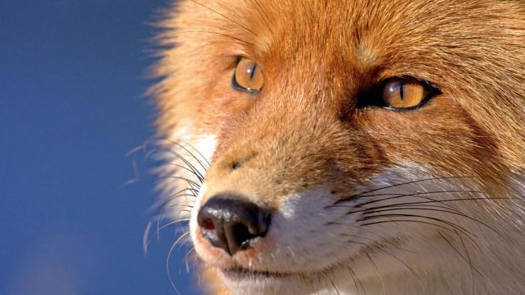 fox wallpaper 511564163