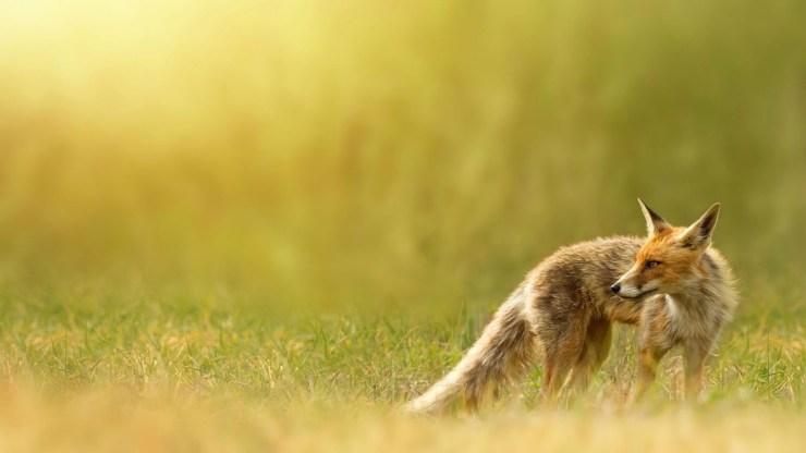 fox wallpaper 511564165