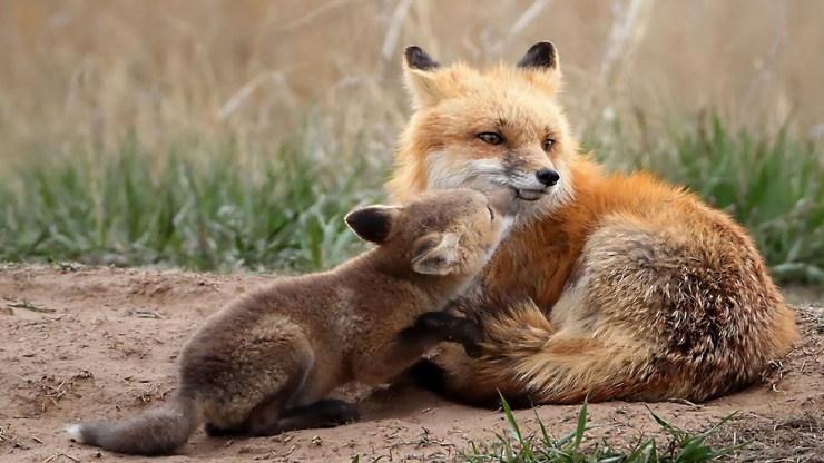 fox wallpaper 511564168