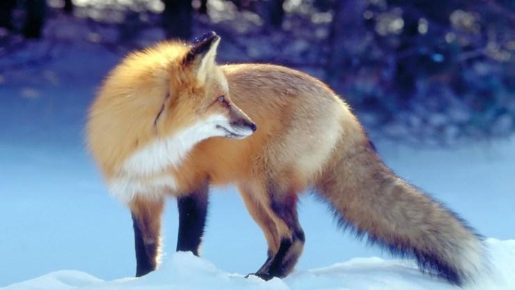 fox wallpaper 511564169