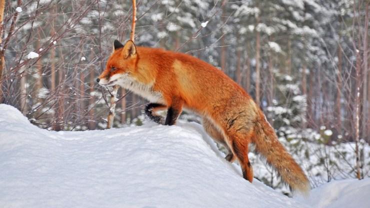fox wallpaper 511564171