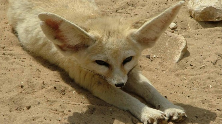 fox wallpaper 511564172