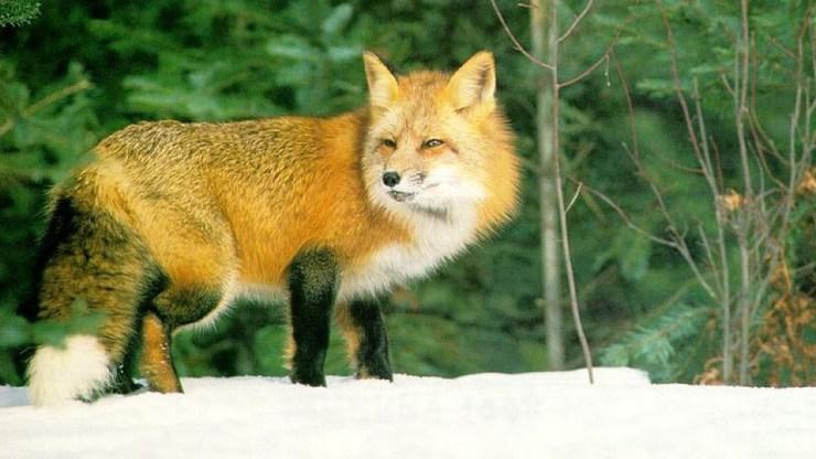 fox wallpaper 511564174