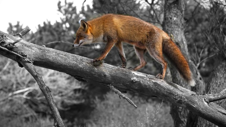 fox wallpaper 511564181