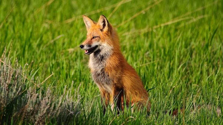 fox wallpaper 511564189