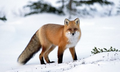 fox wallpaper 511564193