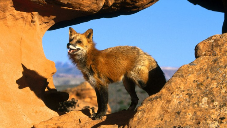fox wallpaper 511564198