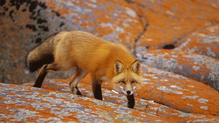 fox wallpaper 511564203