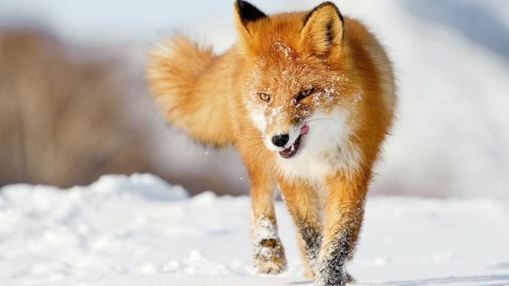 fox wallpaper 511564204