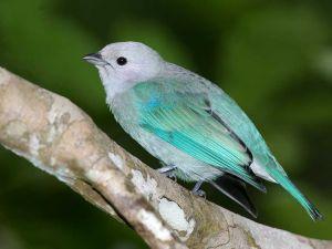 canary bird wallpaper